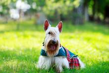 Scottish Terrier Breed Dog