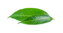 Mango Leaves On A White Backgr...