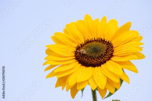 Photo  Fleißige Bienen und Hummeln bestäuben riesige Sonnenblumen in voller Blütenprach