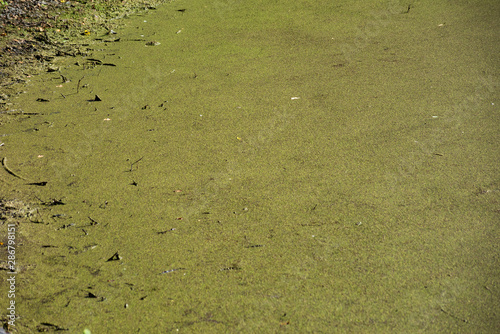 Background of a green swamp with stagnant water Fototapeta