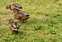 Three Wild Duck Females (Anas ...
