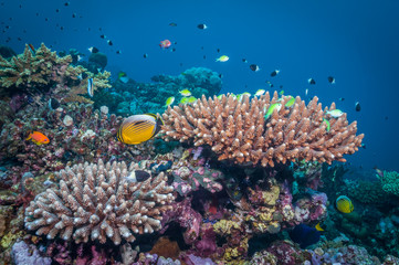 Sudan coral reef nature