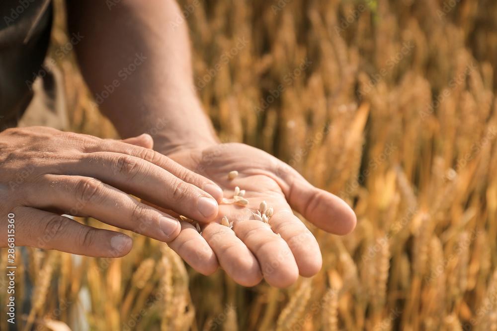 Fototapety, obrazy: Farmer in field on sunny day, closeup