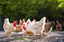 White And Multicolored Chicken...