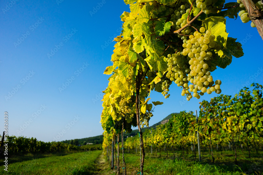 Fototapeta ripe white grape on vine plant at vinery, sunset, Gulacs hill at background