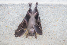Small Brown Bat Or The Short-n...