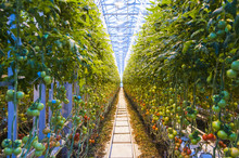 Rows Of Tomato Plants Growing Inside Big Industrial Greenhouse