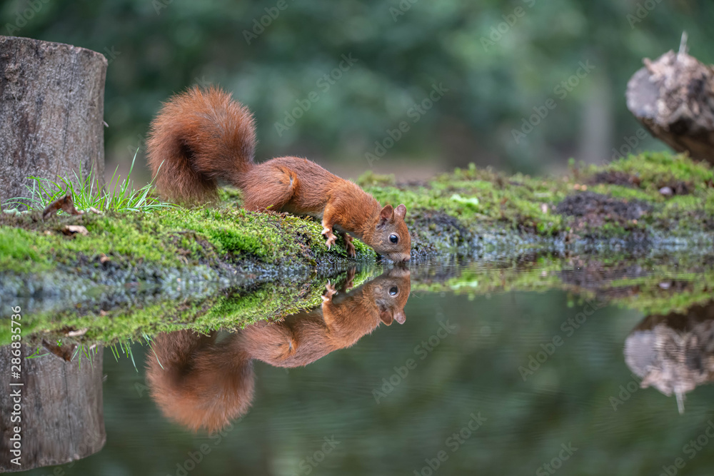 Fototapety, obrazy: Drinking Squirrel
