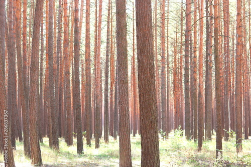 Recess Fitting Salmon Pine forest with beautiful high pine trees in summer in sunny weather