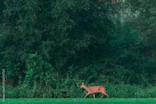 Keuken foto achterwand Ree Roe deer walking along forest edge.