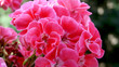 Leinwanddruck Bild - Geranien als Balkonblumen