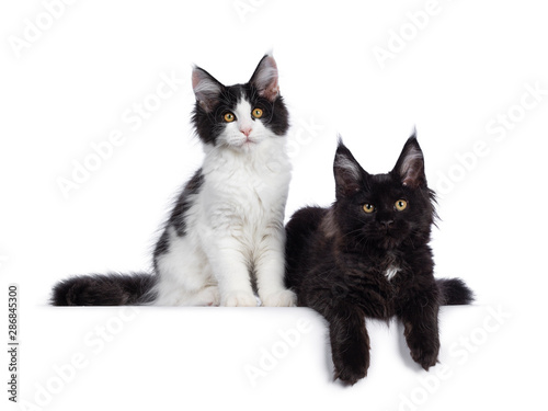 Cute Black And White Maine Coon Cat Kittens Sitting Laying Beside Eachother Looking Beside Lens With Curious Look Isolated On White Background Buy This Stock Photo And Explore Similar Images