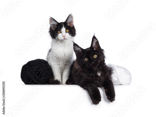 Cute Black And White Maine Coon Cat Kittens Sitting Laying Beside Eachother And Knots Of Wool Looking At Lens With Curious Look Isolated On White Background Buy This Stock Photo