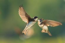 Sand Martin, Bank Swallow Riparia Riparia In Flight Nesting