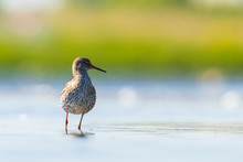 Common Redshank Tringa Totanus...