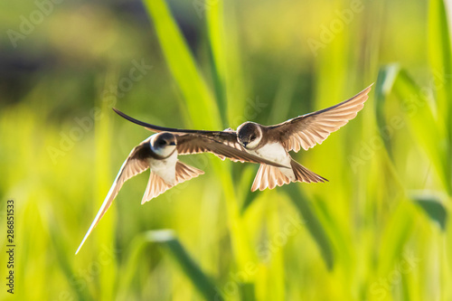 Obraz Sand martin, bank swallow Riparia riparia in flight nesting - fototapety do salonu