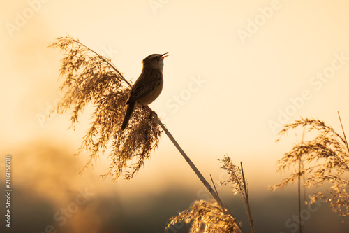 Spoed Fotobehang Vogel Eurasian reed warbler Acrocephalus scirpaceus bird singing in reeds during sunrise.