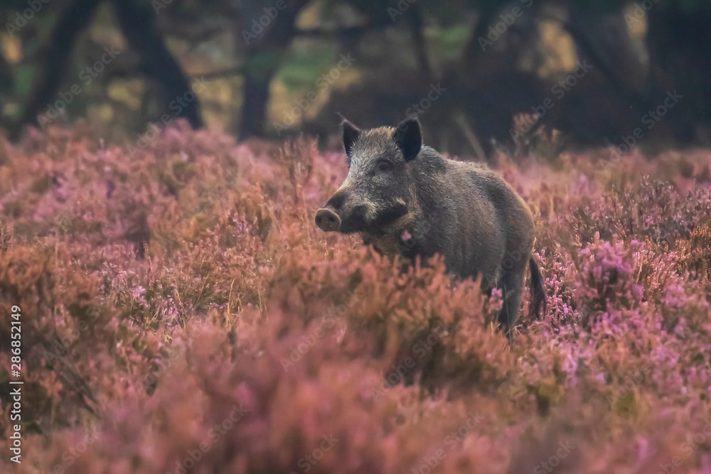 Fototapeta Wild boar in blooming heather