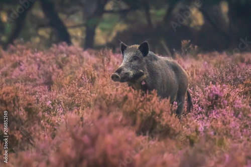 Fototapeta Wild boar in blooming heather obraz