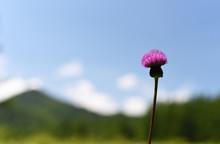 高原に咲くノアザミ