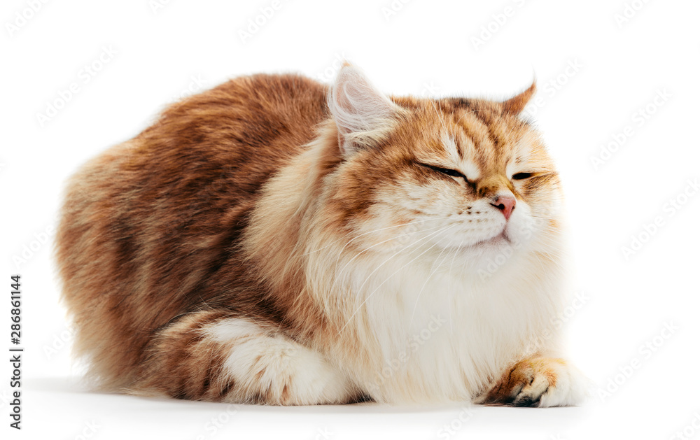 Fototapety, obrazy: Siberian cat isolated on white background. Purebred