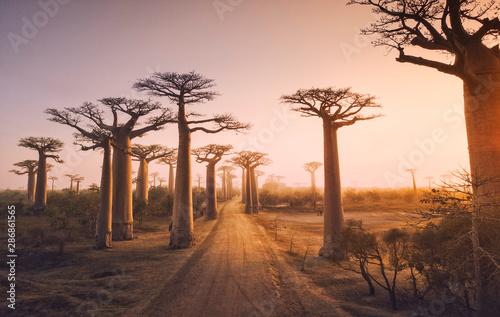 Photo Beautiful Baobab trees at sunset at the avenue of the baobabs in Madagascar