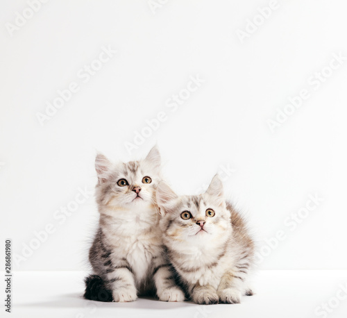 Siberian cats, two kittens from same litter isolated on white Wall mural