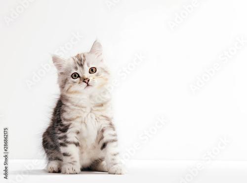 Naklejki koty   kot-syberyjski-portret-kotka-na-bialym-tle