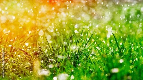 Obraz Green grass under water drops sun day light close - fototapety do salonu