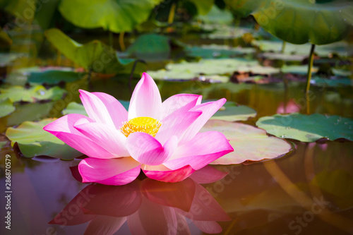 Staande foto Lotusbloem Beautiful pink Lotus flower with green leaves in nature for background