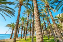 Palm Trees. Torremolinos, Anda...