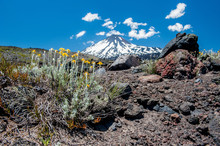 Detail Of Desert Life. Antuco Volcano Black Volcano Desert. Blooming Flower And Stones Near In Front. Blue Sky And Clouds Over The Volcano.