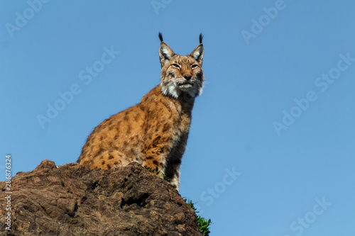 Foto auf Leinwand Luchs a boreal lynx resting on his favorite rock