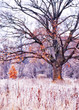 Leinwanddruck Bild - Glade with plants and grass covered with white hoarfrost and a mighty oak with last yellow leaves. Art photo. Soft focus.