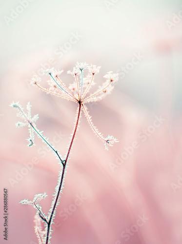 Slika na platnu Dried flowers in a meadow in white hoarfrost