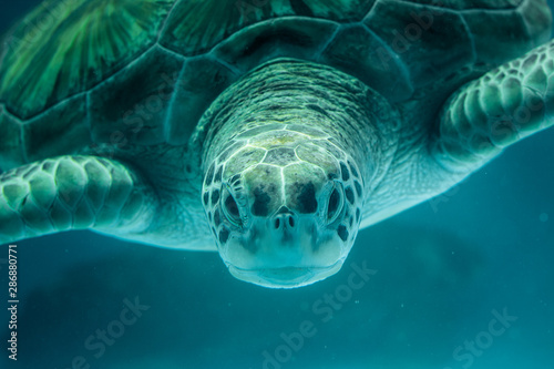Tuinposter Schildpad swimming in blue water