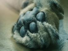 Closeup Of Lion Paw