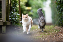 Playful Young Cats Running Towards Camera Outdoors In The Back Yard Playing Chasing Each Other Looking At Camera