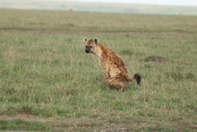Spotted Hyena Pooping, Masai Mara National Park, Kenya.
