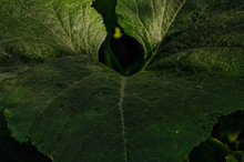 Squash Leaf