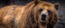 """Captive"" Brown Bear (Ursus Arctos), Grizzley Bear, At The Michigan City, Indiana Zoo."