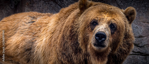 """Captive"" Brown bear (Ursus arctos), Grizzley Bear, at the Michigan City, Indiana Zoo Fototapet"