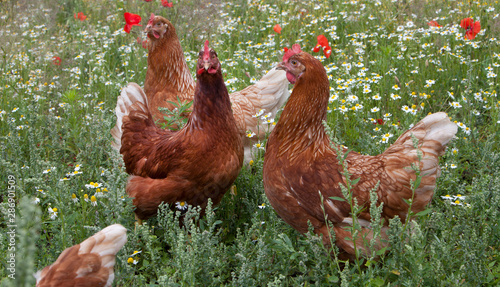 Photo  Free range chicken outdoor. In flower field. Poultry