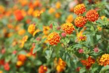 Beautiful Lantana Flowers In T...