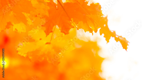 Foto auf Leinwand Rotglühen Orange maple leaves on a blurred background. Orange leaves on a tree. Golden leaves in autumn park. Widescreen