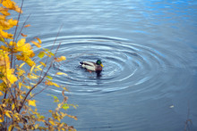 A Duck Floating In A Pond With...