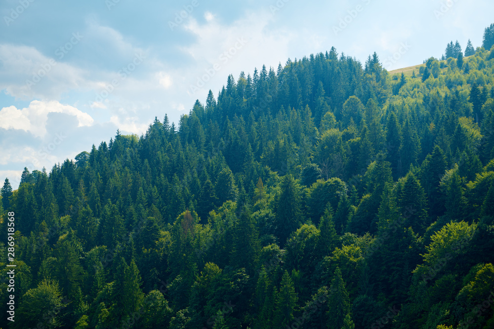 Fototapety, obrazy: Beautiful summer landscape - spruces on hills, cloudy sky at bright sunny day. Carpathian mountains. Ukraine. Europe. Travel background.