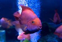 Piranha Natterer. Serrasalmus ...