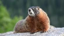 Barking Marmot Sitting On Larg...