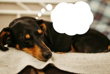 Dachshund Lies On The Couch. Dog With Cloud Of Thoughts. Thinking Puppy